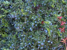 Myrtle Berry and Rosehip Candies | Penniless Parenting