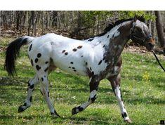 Standing at Stud- Doncha Wanna Moon Me. Pretty Horses, Beautiful Horses, Animals Beautiful, Hunting Outfitters, Appaloosa Horses, Horse World, Horse Farms, Horse Breeds, Belleza Natural