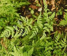 After 60 million years apart, two fern genera form hybrid in the mountains of France