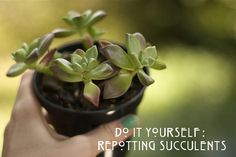 repotting Succulent Plants: MIX coffee & sand with dirt! it makes them happy! :)