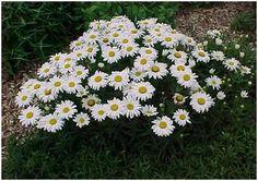 shasta daisy - Google Search