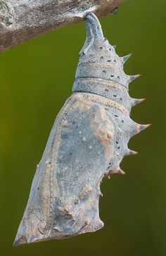 Photographs of Nymphalis antiopa - Mourning Cloak butterfly Butterfly Pupa, Butterfly Chrysalis, Natural Structures, Birds And The Bees, Garden Route, Color Studies, Fairy Houses, Nature Animals, Beautiful Butterflies