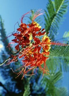 My next flower purchase | Pride of Barbados plants (Caesalpinia pulcherrima) are also known as peacock flowers, dwarf poincianas and red bird-of-paradise.