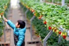 Image result for strawberry farm Strawberry Farm, Farmers Market, Mood, Fruit, Image