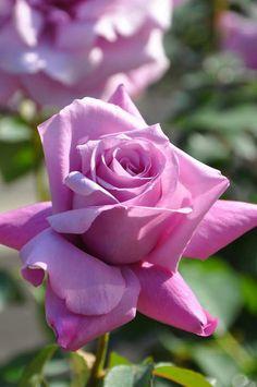 濃いライラック色の華やかな大輪花 甘くすっきりとした香り コンパクトに育ちブルー系としては丈夫で育てやすい シャルルドゥゴール Charles de Gaulle http://item.rakuten.co.jp/baranoie/c/0000002357/?force-site=pc