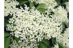 Black elder flower is one of the most effective herbs for treating hay fever symptoms