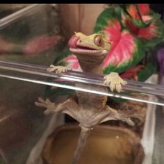 Adorable little Crested Gecko