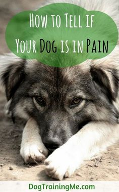 Learn how to tell if your dog is in pain with this list of signs to look for. We tell you what you should do if your dog is in pain, and what can you give them to ease it? Or what you can't give them. See our article for more.