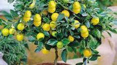 Evde Limon Yetiştirmenin Püf Noktaları - Canım Anne Cricut Design, Organic Gardening, Fruit, Plants, Anne, Gift Ideas, Organic Farming, The Fruit, Plant