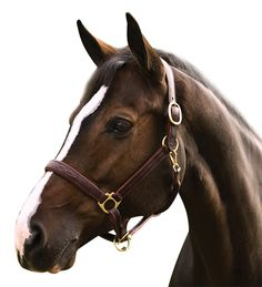 Hdr PRO Fancy Padded Rolled Throat Triple Stitched Halter Hazelnut Horse New Cute Horses, Beautiful Horses, Animals Beautiful, Horse Halters, Horse Saddles, Western Saddles, Horse Barns, Horse Tack, Horse Stalls