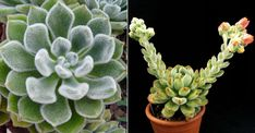 Echeveria 'Bombicina' is an evergreen succulent with rosettes up to 4 inches (10 cm) in diameter... #echeveria #succulentopedia #succulents #CactiAndSucculents #WorldOfSucculents #SucculentLove #succulent #SucculentPlant #SucculentPlants #succulentmania #SucculentLover #SucculentObsession #SucculentCollection #plant #plants #SucculentGarden #garden #DesertPlants #nature #blooming #BloomingSucculent #flower #flowers #SucculentFlower #SucculentFlowers