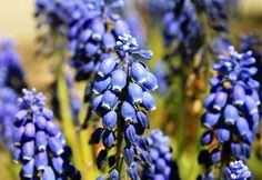 Grape Hyacinth - Chatham, Cape Cod | Flickr - Photo Sharing!