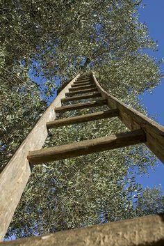 Paolo Giuri - Olive Tree | Flickr - Photo Sharing!
