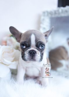 french-bulldog-puppy-602-for-sale Lilac French Bulldog, Miniature French Bulldog, Teacup French Bulldogs, Merle French Bulldog, Blue French Bulldog Puppies, French Bulldog For Sale, Frenchie Puppies For Sale, Dachshund Puppies, Toy Puppies