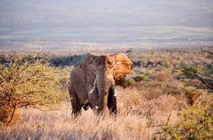 """Ensuring a Legacy for Elephants"" By Patrick Bergin via African Wildlife Foundation. (Elephant near Satao Elerai lodge in Kenya.) Photo by Philip Muruthi"