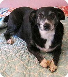 Rockaway, NJ - Rat Terrier. Meet XP Gigi, a dog for adoption. http://www.adoptapet.com/pet/11866179-rockaway-new-jersey-rat-terrier