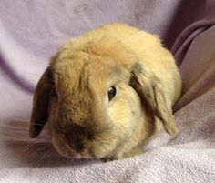 Available Rescue: Hermes - 3 year old male rabbit - SURREY - Furry Friends Rescue