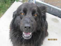#OHIO #URGENT ~ Buddy is a 2y/o Newfoundland Dog dog -She's a very good girl in need of a good bath grooming & loving #adopter or #rescue at SENECA COUNTY DOG WARDEN 3190 S State Route 100  #Tiffin OH 44883 scadw@bright.net Ph 419-448-5097