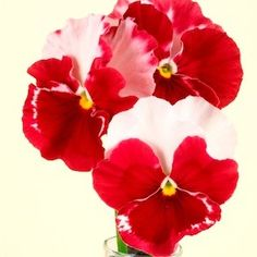 These new pansy flowers would look great in a Christmas planter!  They are called DESIDERIO   ORCHID ROSE TRICOLOR   Pansy Seeds      Striking flowers, blended in shades of rose, pink and white. Early flowering, compact, 6-8 inch tall plants.  Pair with PENNY RED BLOTCH Viola and a white pansy or viola.  Add evergreen greenery if desired