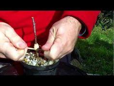 ▶ Técnica del injerto de hendidura para arboles 23-02-2013 - YouTube