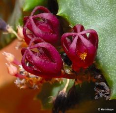 Foro de InfoJardín - Plantas y flores curiosas             STAPELIOPSIS SAXATILIS