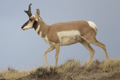 pronghorn antelope - Google Search