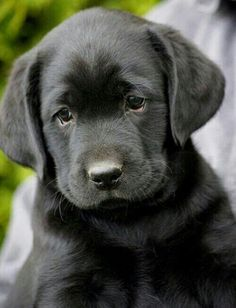 that face I just want to kiss and hug this little one!! #LabradorRetriever