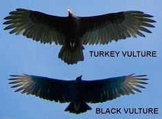 How To Tell A Black Vulture And A Turkey Vulture Apart