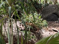 Dendrobium speciosum 'Hillii' Growing perfectly in the ground at Curru – Australian Orchid Nursery