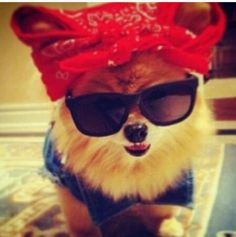 Hatchi is so cute Cute Puppies, Cute Dogs, Dogs And Puppies, Doggies, New Puppy, Puppy Love, Spitz Pomeranian, Pomeranians, Rockabilly