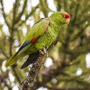 Amazona pretrei, papagaio-charão, WikiAves Paradise Plant, Amazon Parrot, Bird Party, Cockatiel, Beautiful Birds, Wildlife, Pets, Nature, Rio Grande