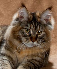Maine Coon - CH Maine Delite's Auralia http://www.mainecoonguide.com/what-is-the-average-maine-coon-lifespan/