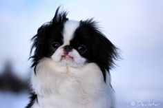 Japanese Chin. I want one so badly!