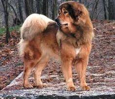 pictures tibetaanse mastiff - Google zoeken