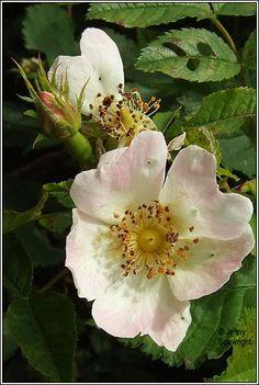 Irish Wildflowers - Short-styled Field-rose