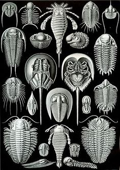 Planche du zoologiste Ernst Haeckel