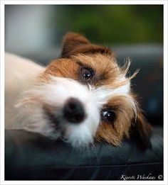 WHEN ARE YOU COMING HOME? Adorable JRT