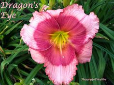 Dragon's Eye Daylily photo by HappyGoDaylily