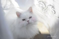 White perfection cat.