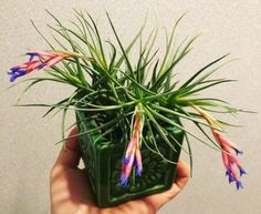 Growing Air Plants or Tillandsias Air Plants are such a fascinating groups of plants!  They're immediately interesting and eye catching because th...