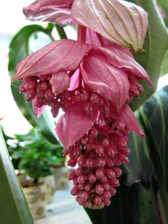 Medinilla magnificia (Pink lantern, Rose grape, Malaysian orchid)  This tropical shrub native to Philippines bears drooping clusters of rosy pink flowers. It grows up to 8 feet tall in its natural habitat in part shade locations out of soil pockets on rain forest trees or in ground clearings.
