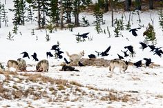 THE RELATIONSHIP BETWEEN WOLVES AND RAVENS Ravens and wolves form social attachments with each other and take huge advantage of each other.