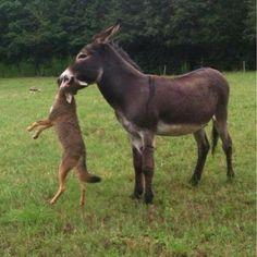 Donkey vs. coyote.