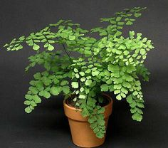 Maidenhair Fern grows all over the world in tropical to warm temperate climates. The stems were used in basketry by various ...