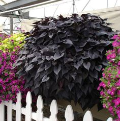 Ipomoea batatas Sweet Heart Purple Purple, becoming almost black foliage in autu… – kristins traumgarten Garden Plants, Indoor Plants, Gothic Garden, Weird Plants, Potato Vines, Midnight Garden, Dark Flowers, Summer Plants, Black Garden