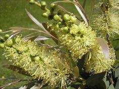 Candelabra Callistemon Candelabra --- For more Australian native plants visit Callistemon Candelabra --- For more Australian native plants visit Australian Native Garden, Types Of Food, Native Plants, Candelabra, How To Run Longer, Getting Old, Nativity, Flora, Native Gardens