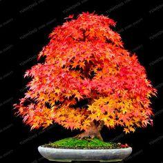 20 Pcs Rare Blue Maple Seeds Bonsai Tree Plants Pot Suit for DIY Home Garden Japanese Beautiful Multicolor Maple Seeds