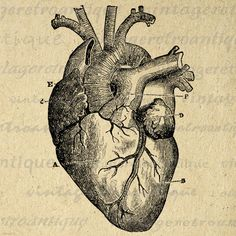 Digital Heart Diagram Graphic Image Medical Printable Anatomy Antique Download Vintage Clip Art. High resolution printable digital image for making prints, iron on transfers, tea towels, papercrafts, tote bags, and much more. Personal or commercial use. This digital graphic is high quality, high resolution at 8½ x 11 inches. Transparent background PNG version included.