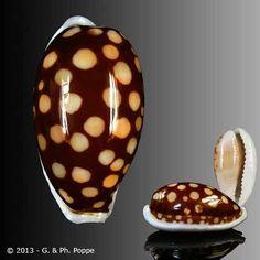 Cribrarula cribraria  -  P.Poppe