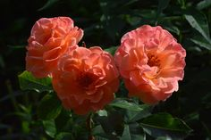 Arabia  ruusu aamuauringossa